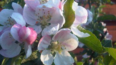 """Photo of De unde vine expresia """"de florile mărului""""?"""